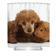 Apricot Miniature Poodle Pup With Red Shower Curtain