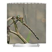 Arrowhead Spiketail Dragonfly - Cordulegaster Obliqua Shower Curtain