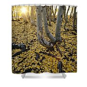 Aspen Trees Stand Above A Carpet Shower Curtain