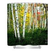 Autumn Birch Grove Shower Curtain