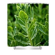 Autumn Joy Stonecrop Shower Curtain