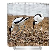 Avocets At Nest Shower Curtain