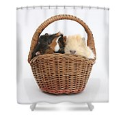 Baby Guinea Pigs In A Wicker Basket Shower Curtain