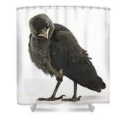 Baby Jackdaw Shower Curtain