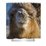 Bactrian Camel Camelus Bactrianus Shower Curtain