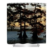 Bald Cypress Trees Growing Shower Curtain