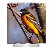 Baltimore Oriole Iv Shower Curtain