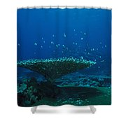 Banded Damselfish Swim Shower Curtain