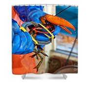 Banding An American Lobster In Chatham On Cape Cod Shower Curtain