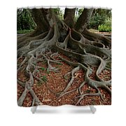 Banyan Tree And Roots In Sarasota Florida Shower Curtain