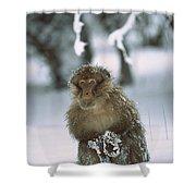 Barbary Macaque Macaca Sylvanus Male Shower Curtain