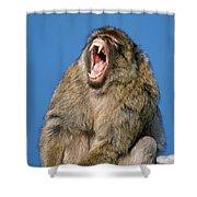 Barbary Macaque Macaca Sylvanus Yawning Shower Curtain