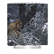 Barbary Macaque Male With Infant Shower Curtain