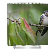 Barn Swallow Hirundo Rustica Fledgling Shower Curtain by Cyril Ruoso
