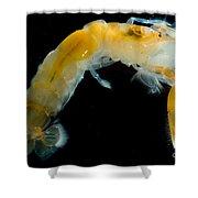 Bay Ghost Shrimp Shower Curtain