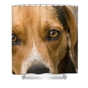 Beagle Hound Dog Eyes Of Love Shower Curtain