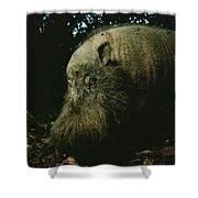 Bearded Swine Sus Barbatus Shower Curtain