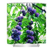 Beautiful Blue Plums On The Tree Shower Curtain
