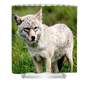 Beautiful Coyote In Alaska Shower Curtain