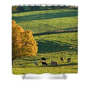Beef Cattle Grazing In Autumn, North Shower Curtain
