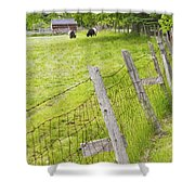 Belted Galloway Cows Farm Rockport Maine Shower Curtain