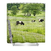 Belted Galloway Cows On  Farm Rockport Maine Photo Shower Curtain by Keith Webber Jr