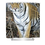 Bengal Tiger In Pench National Park Shower Curtain