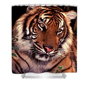 Bengal Tiger In Thought Shower Curtain