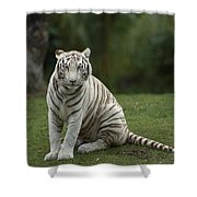 Bengal Tiger Panthera Tigris Tigris Shower Curtain