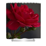 Betty's Red Rose II  Shower Curtain