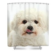 Bichon Frise With Tongue Out Shower Curtain