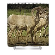 Bighorn Sheep Along A Roadside In The Black Hills Shower Curtain