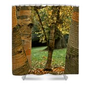 Birches In Autumn Shower Curtain