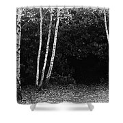 Birches In Black And White Shower Curtain