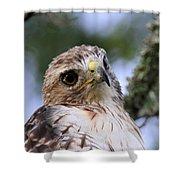 Bird - Red-tailed Hawk - Bashful Shower Curtain