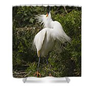 Bird Mating Display - Snowy Egret  Shower Curtain