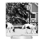 Black And White Clydesdale Grazing Shower Curtain