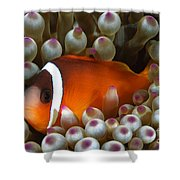 Black Anemonefish, Fiji Shower Curtain