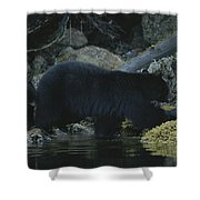 Black Bear With Her Young Cub Tagging Shower Curtain