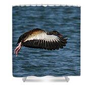 Black-belled Whistling-duck In Flight Shower Curtain