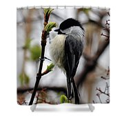 Black-capped Chickadee On Staff Shower Curtain