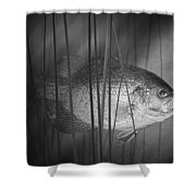 Black Crappie Or Speckled Bass Among The Reeds Shower Curtain
