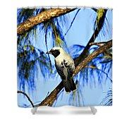 Black Faced Cuckoo Shrike V3 Shower Curtain