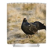 Black Grouse Displaying On A Lek Shower Curtain