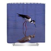 Black-necked Stilt Bird Foraging In Shower Curtain