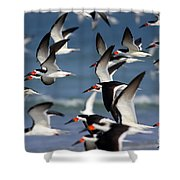 Black Skimmers Flock Shower Curtain by Clarence Holmes