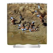 Black-throated Finches At Waterhole Shower Curtain