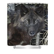 Black Timber Wolf Shower Curtain