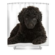 Black Toy Poodle Pup Shower Curtain