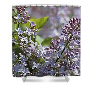 Blossoming Hyacinthiflora Lilacs Shower Curtain